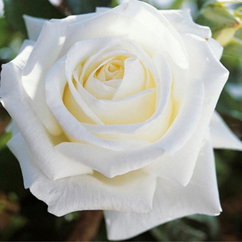 Розы Метрополитэн