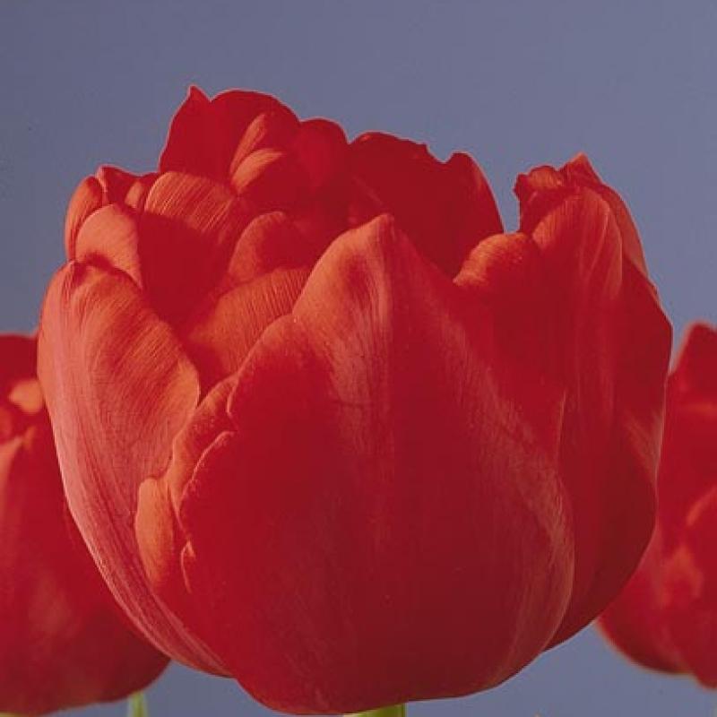 Тюльпаны Карлтон