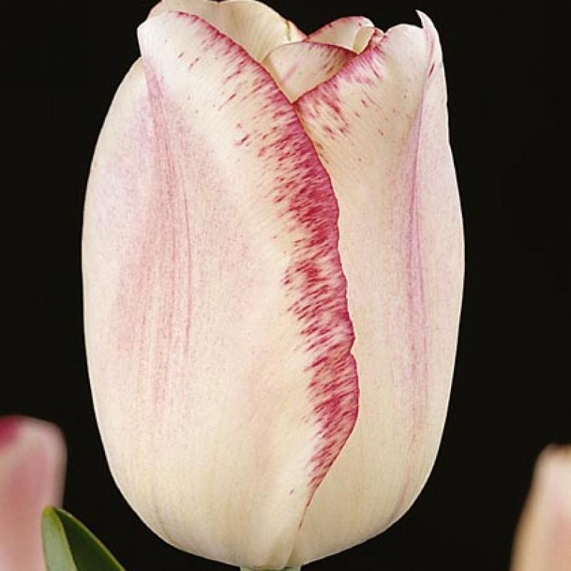 Тюльпаны Мата Хари