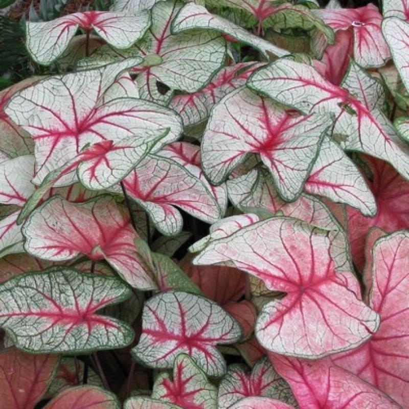 Комнатные растения Каладиум