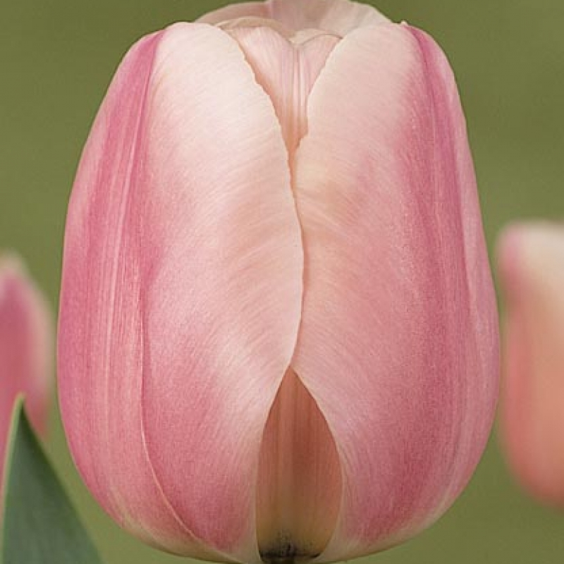 Тюльпаны Монте Роза