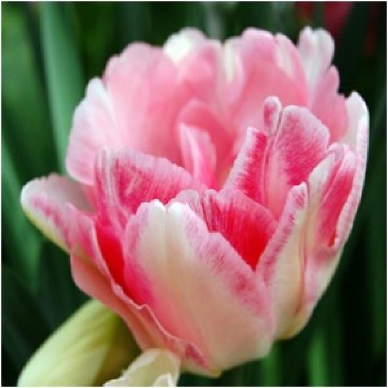 Тюльпаны Картуш