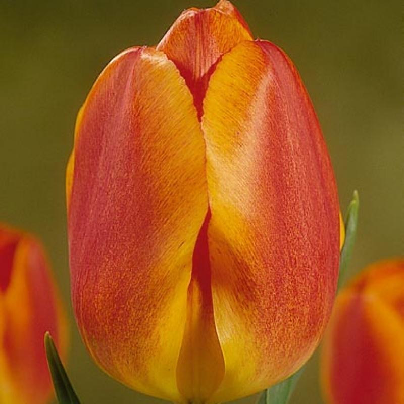 Тюльпаны Курхауз