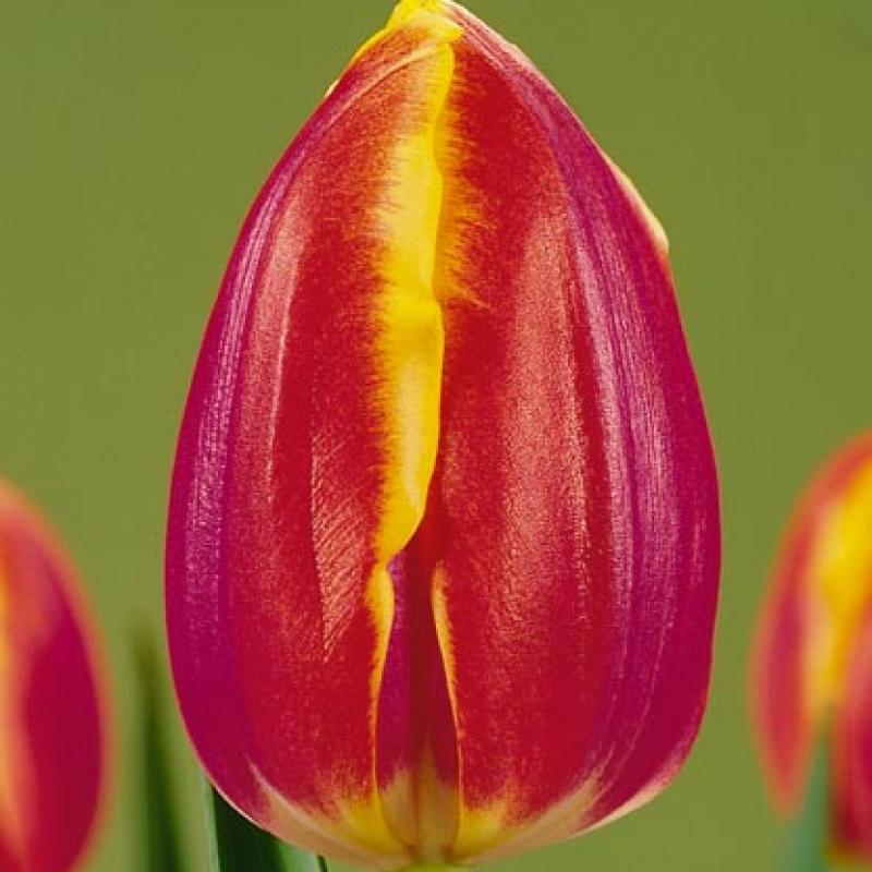 Тюльпаны Роял ван дер Марк
