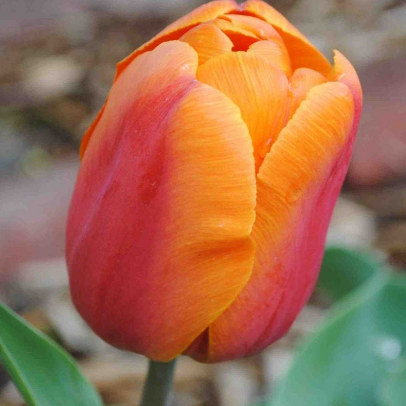 Тюльпаны Индиан Саммер