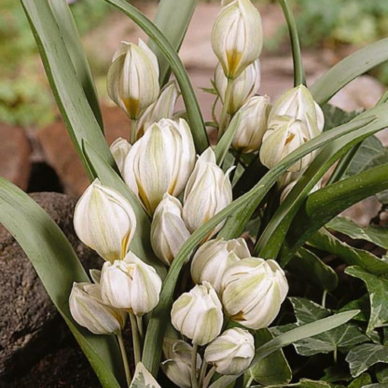 Тюльпаны Хэппи Пипл