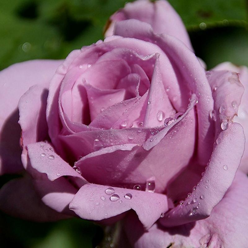 Розы Лилак Роуз