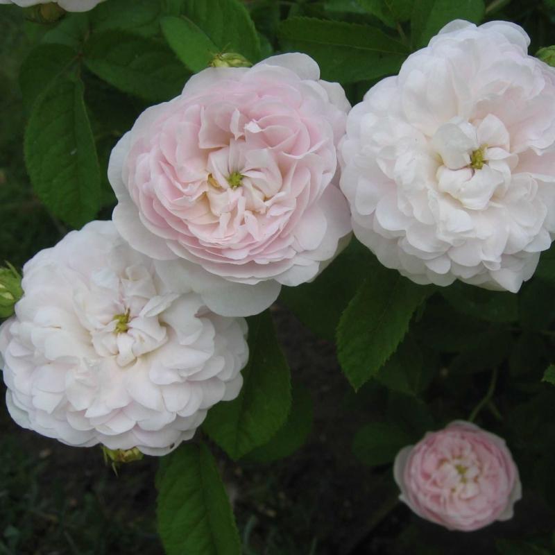 Розы Дучесс де Монтебелло