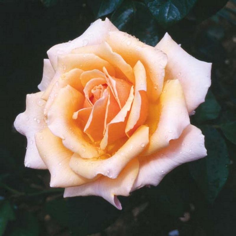 Розы Карон Китинг Роуз