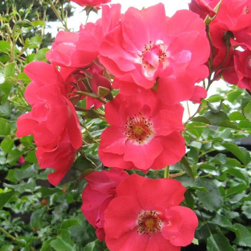 Розы Ротфассаде