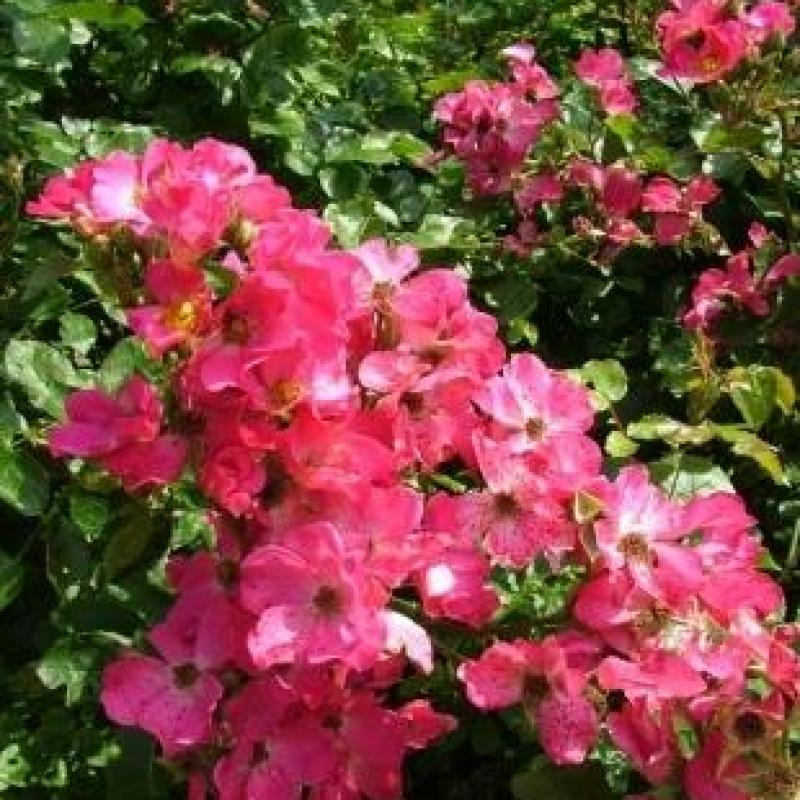 Розы Рози Карпет