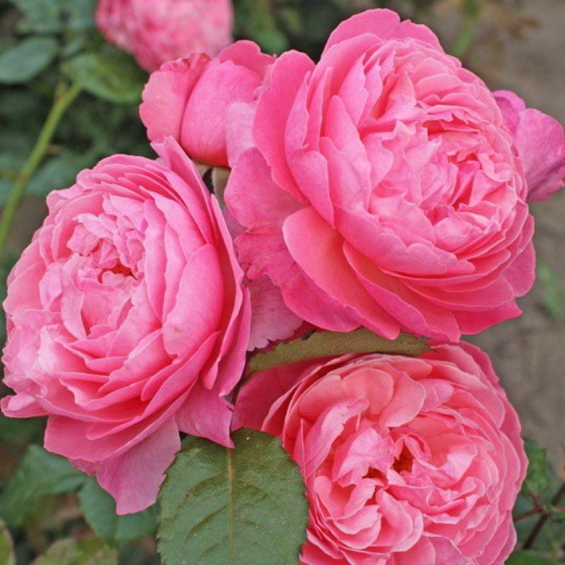 Розы Кольнер Флора