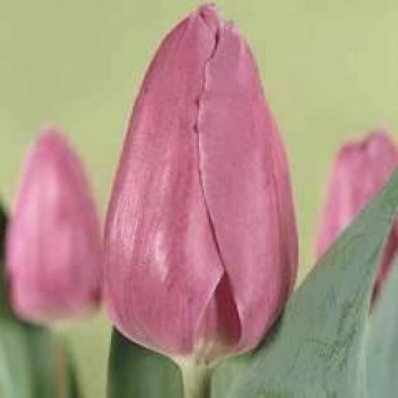 Тюльпаны Перпл Уорлд