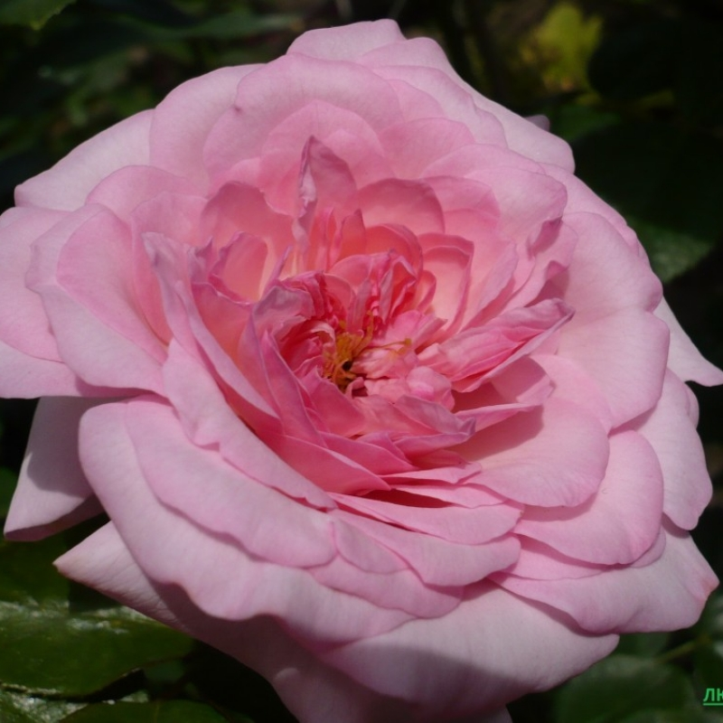 Розы Александра Принцесса де Люксембург