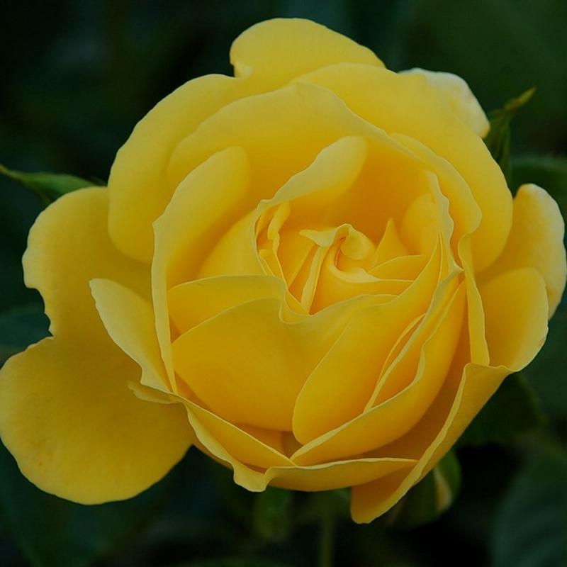 Розы Дукат
