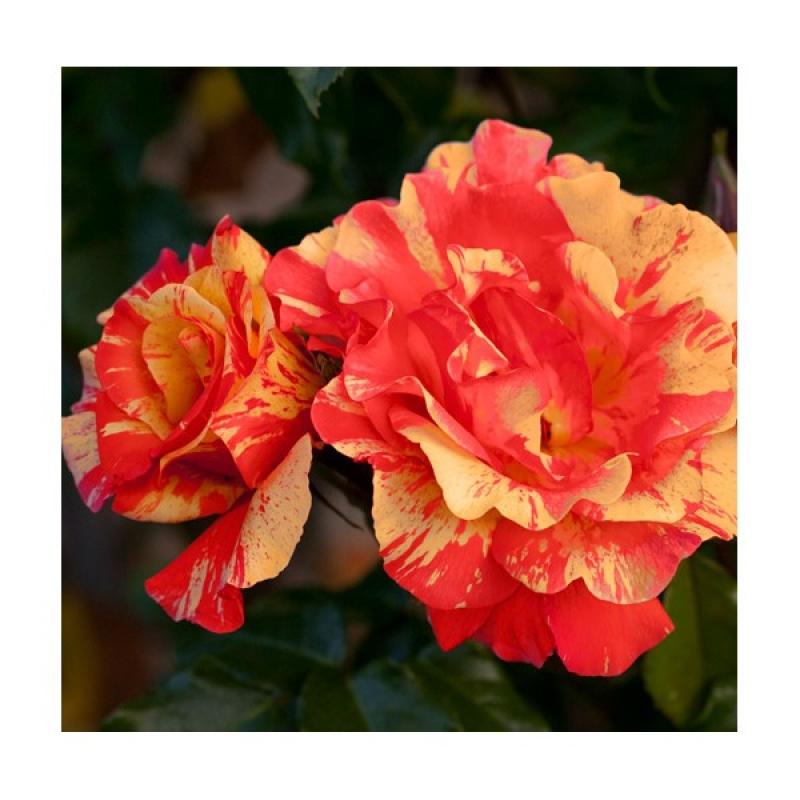 Розы Сорбет Фруте