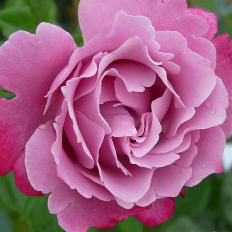 Розы Муриел Робин