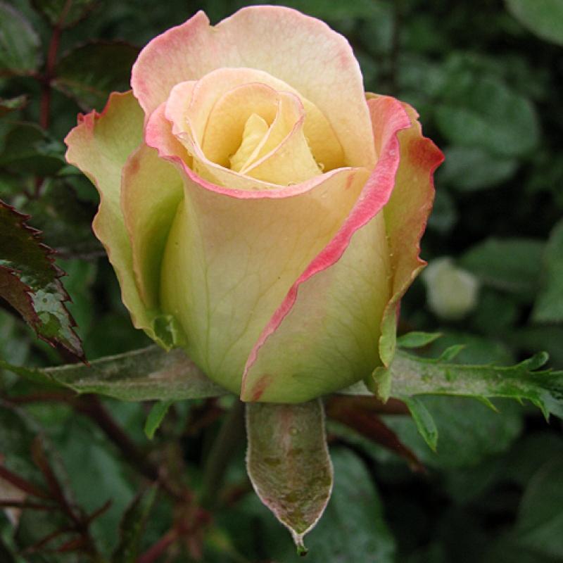 Розы Виолон де Ингрес