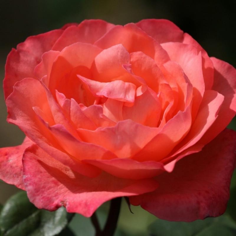 Розы Пинк Пантер