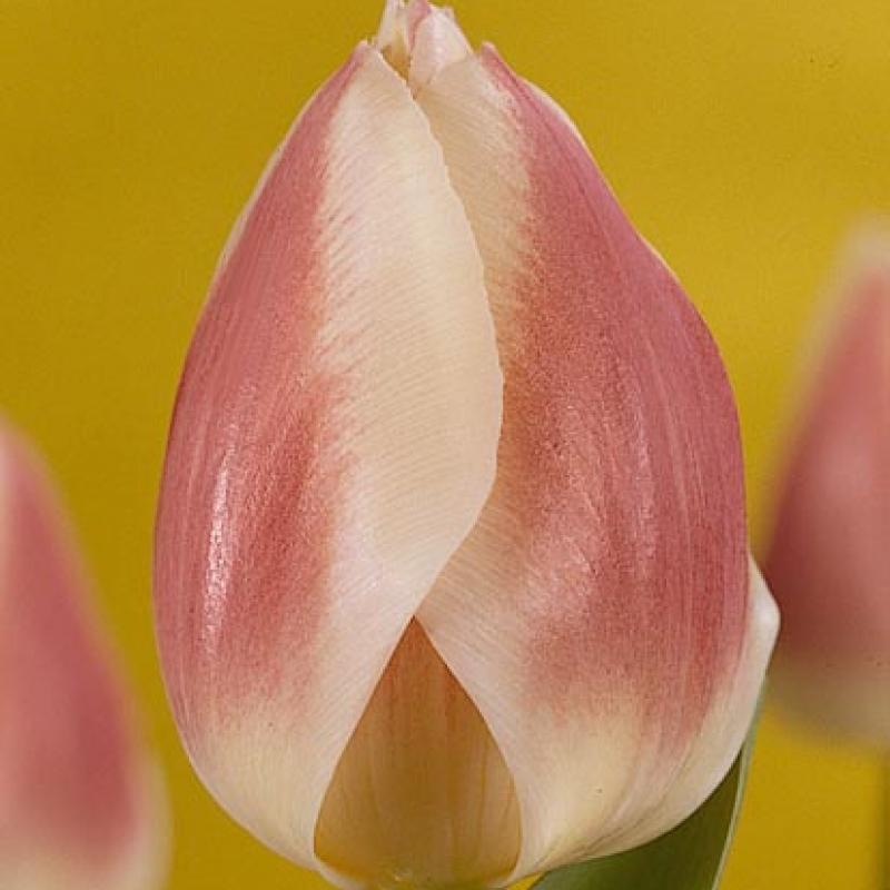 Тюльпаны Изабелла
