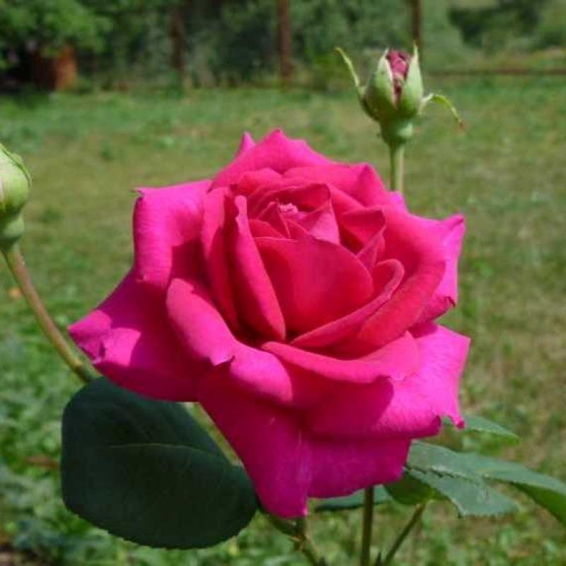 Розы Русская красавица