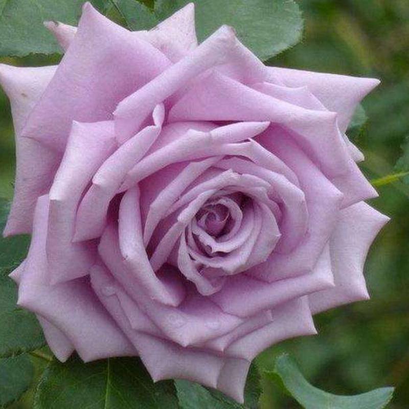 Розы Мами Блю