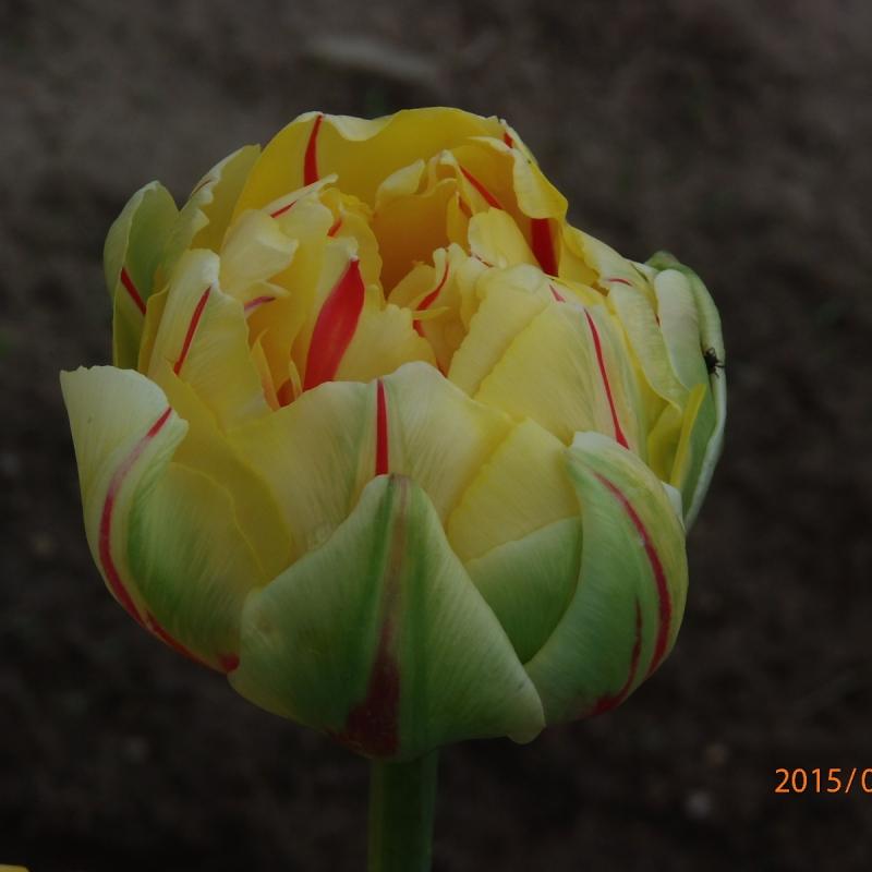 Тюльпаны Гламур Юник