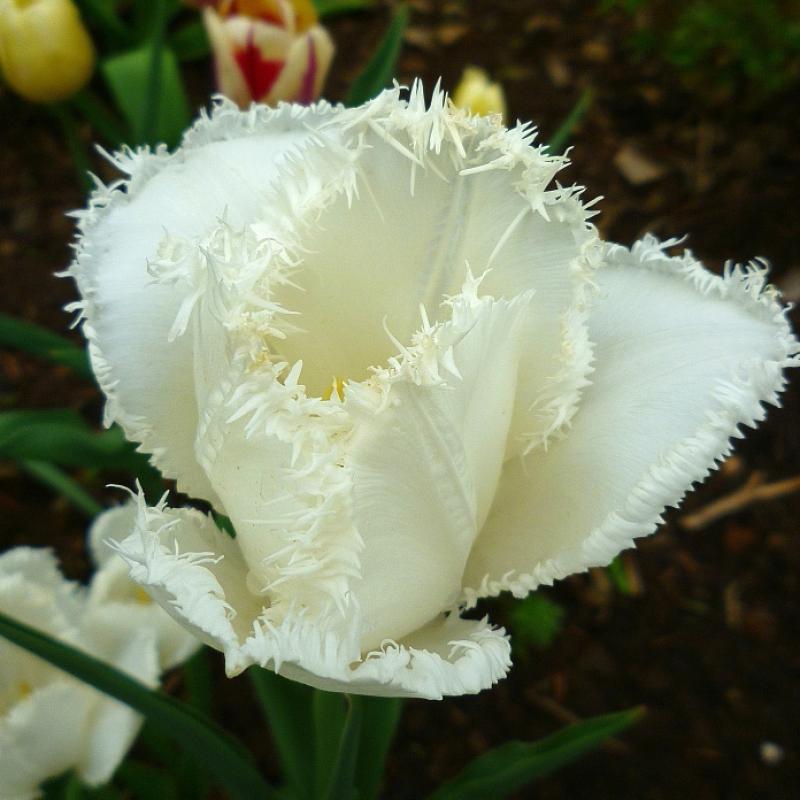 Тюльпаны Сван Вингз