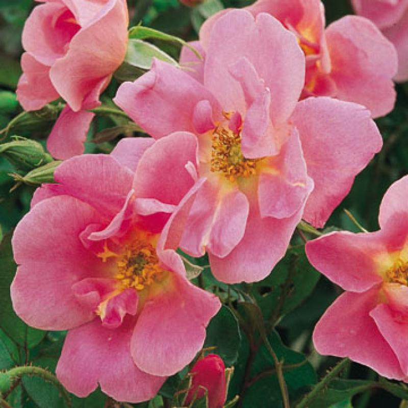 Розы Анн