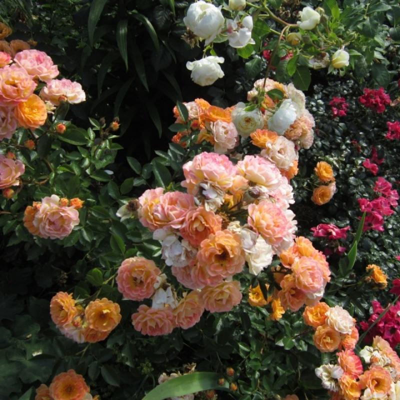 Роза бесси энциклопедия роз