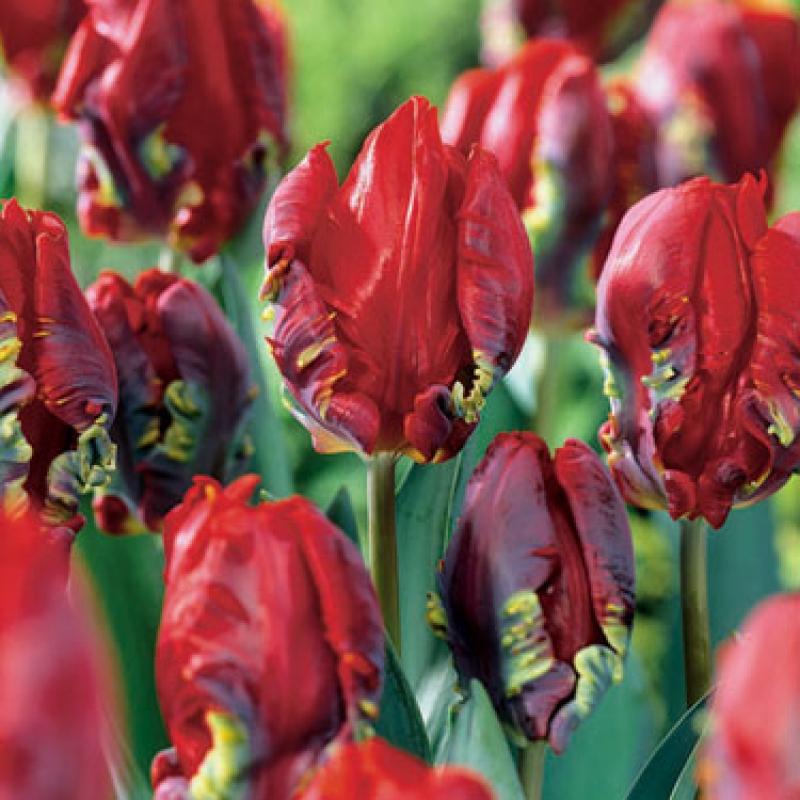 Тюльпаны Эго Пэррот