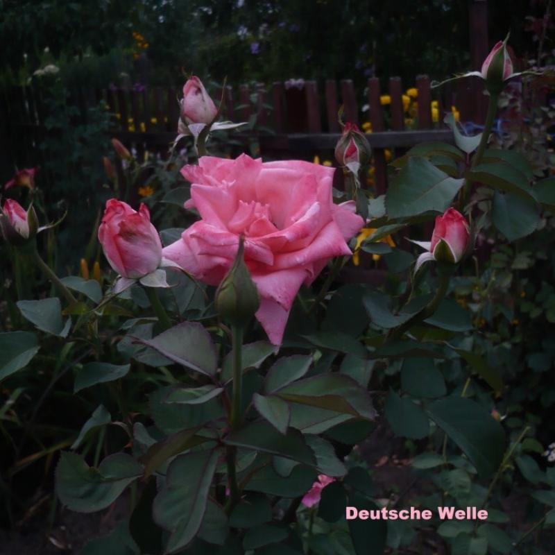 Розы Дойче Велле