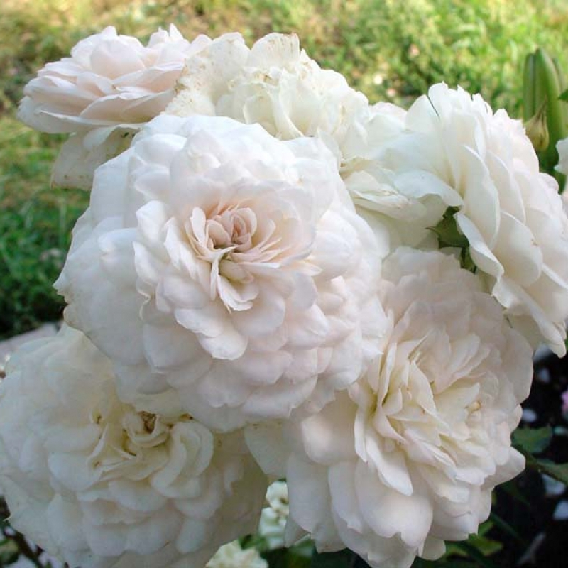 Розы Франсин Остин