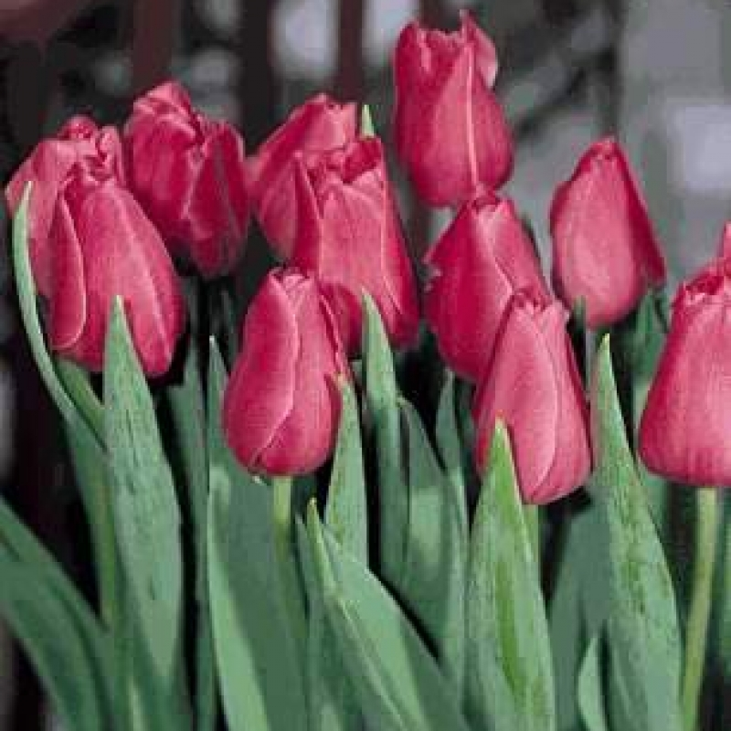 Тюльпаны Шервуд Гарденс