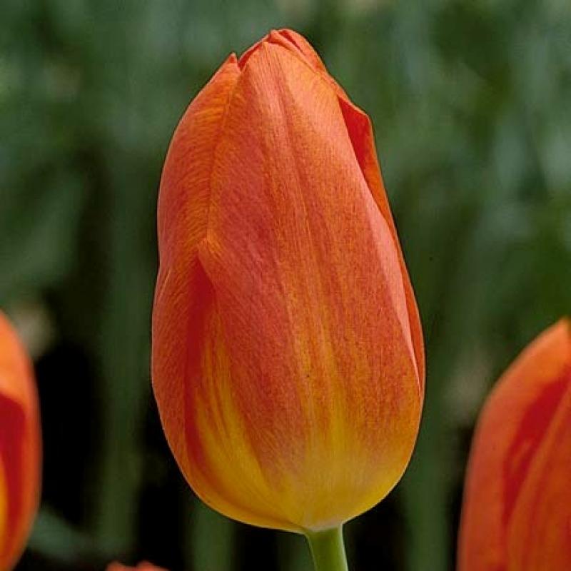 Тюльпаны Синт Маартен