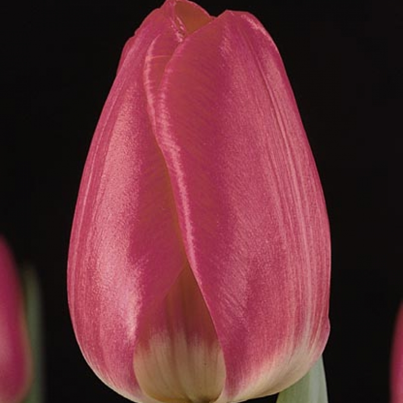 Тюльпаны Антверп