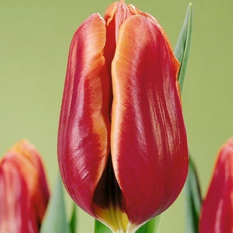 Тюльпаны Синаеда Стейт