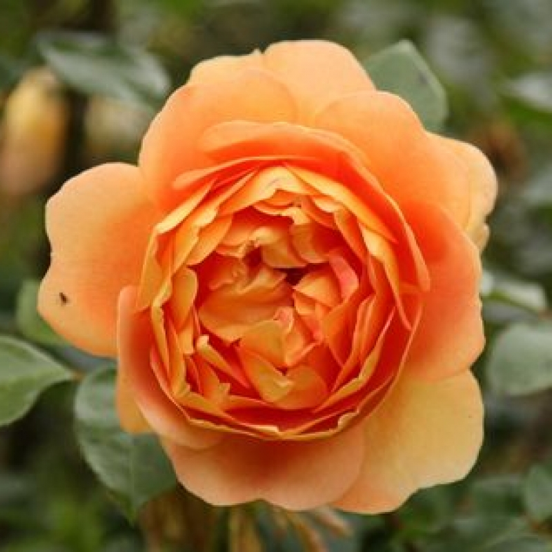 Розы Ст Албан