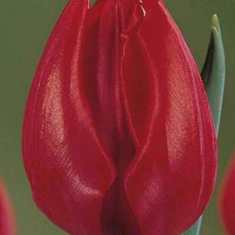 Тюльпаны Виктор Мунди