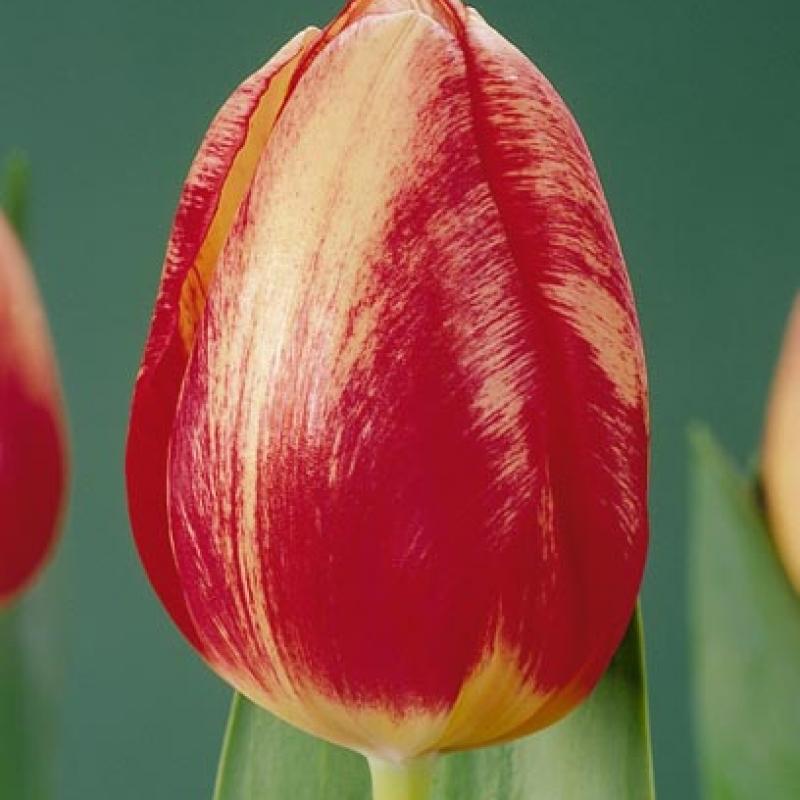 Тюльпаны Винтерберг Элит