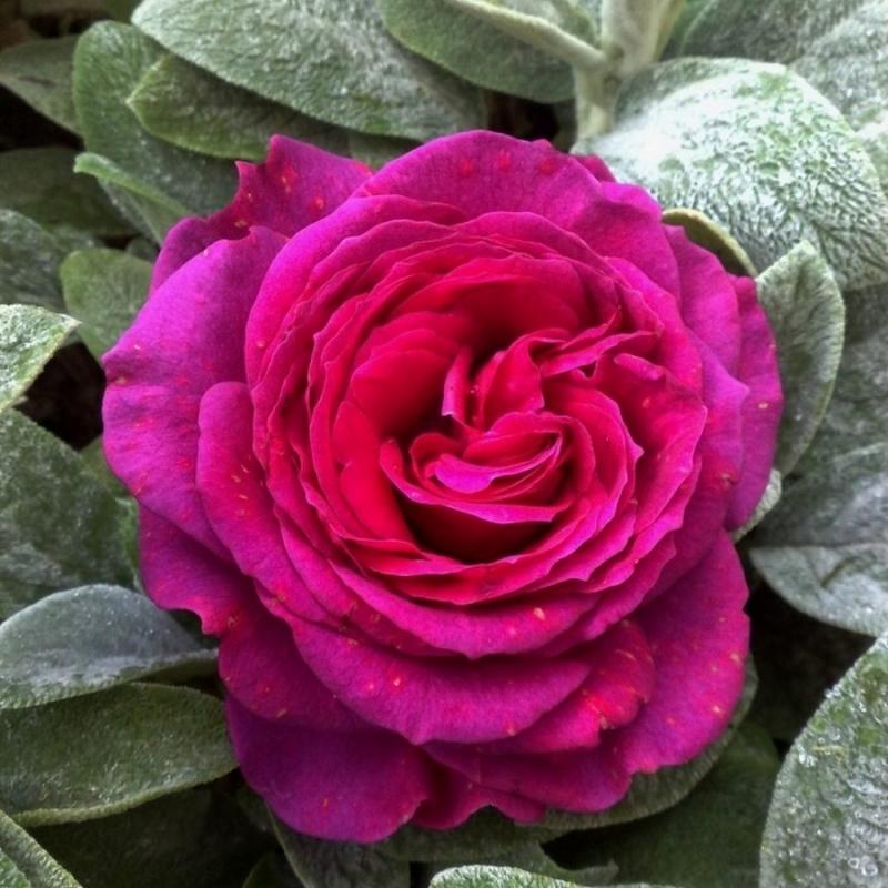 Розы Каррис
