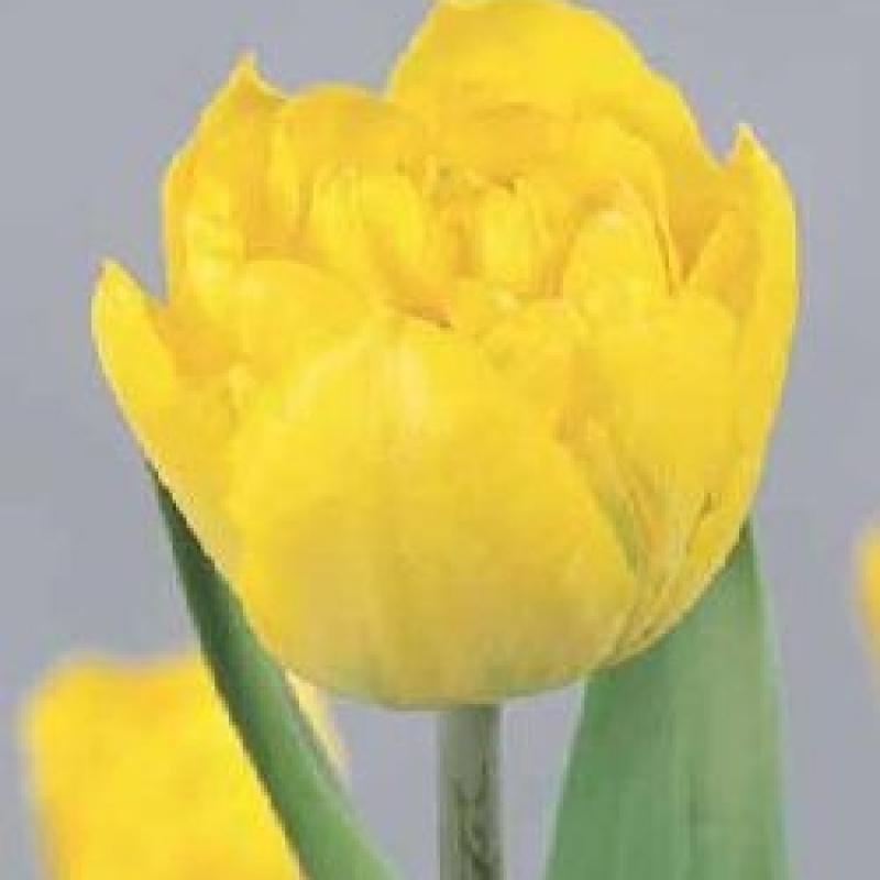 Тюльпаны Беби Долл