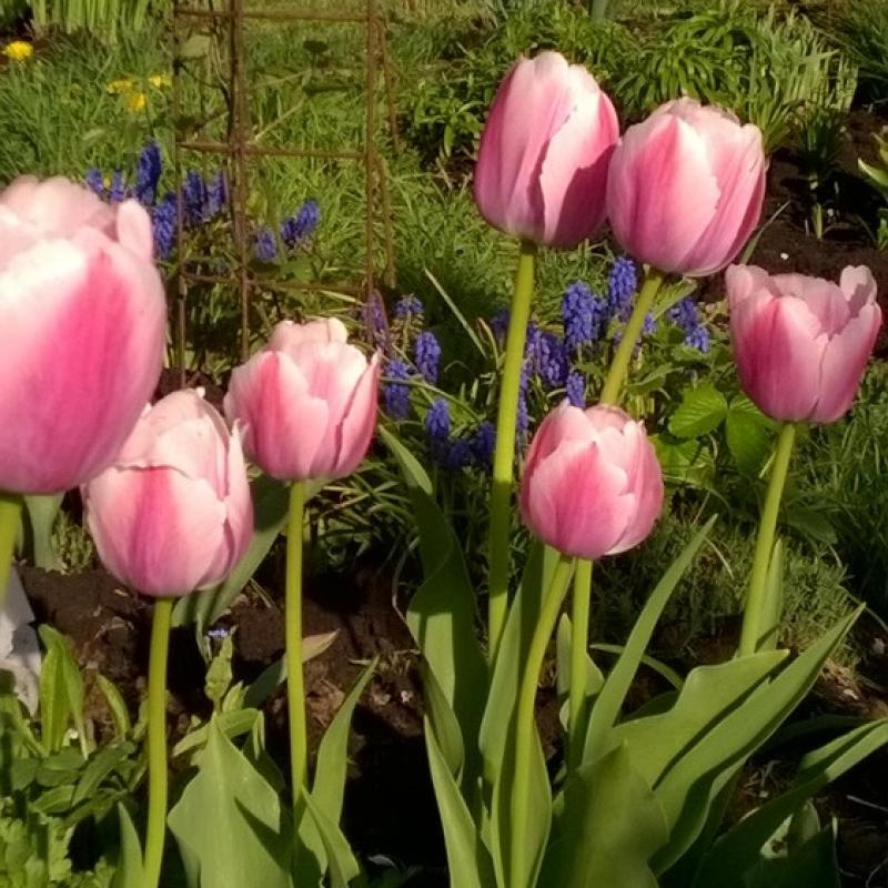 Тюльпаны Пинк Импрешн