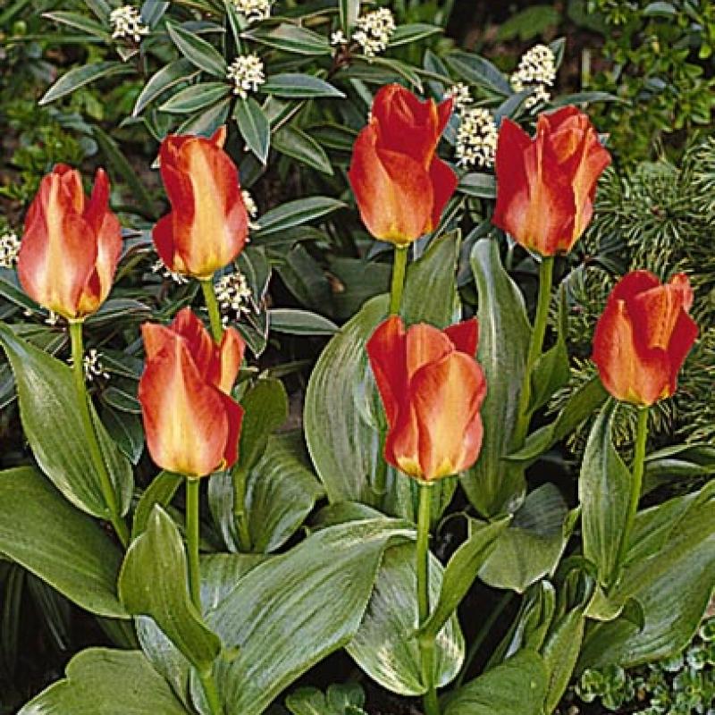 Тюльпаны Кантате