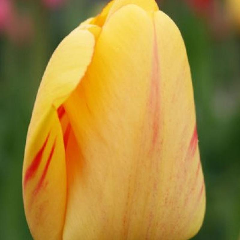 Тюльпаны Джульетта