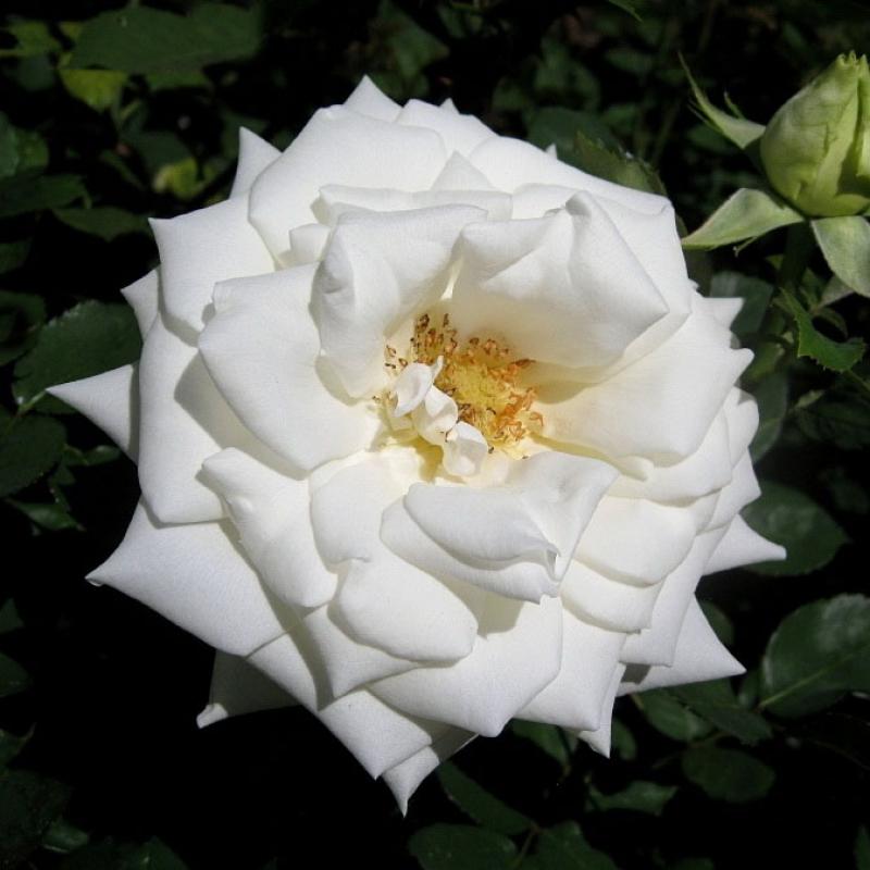 Розы Полар Стар