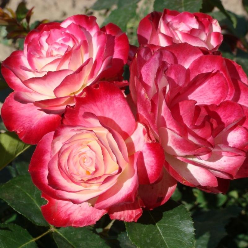 Розы Юбилей дю Принц де Монако