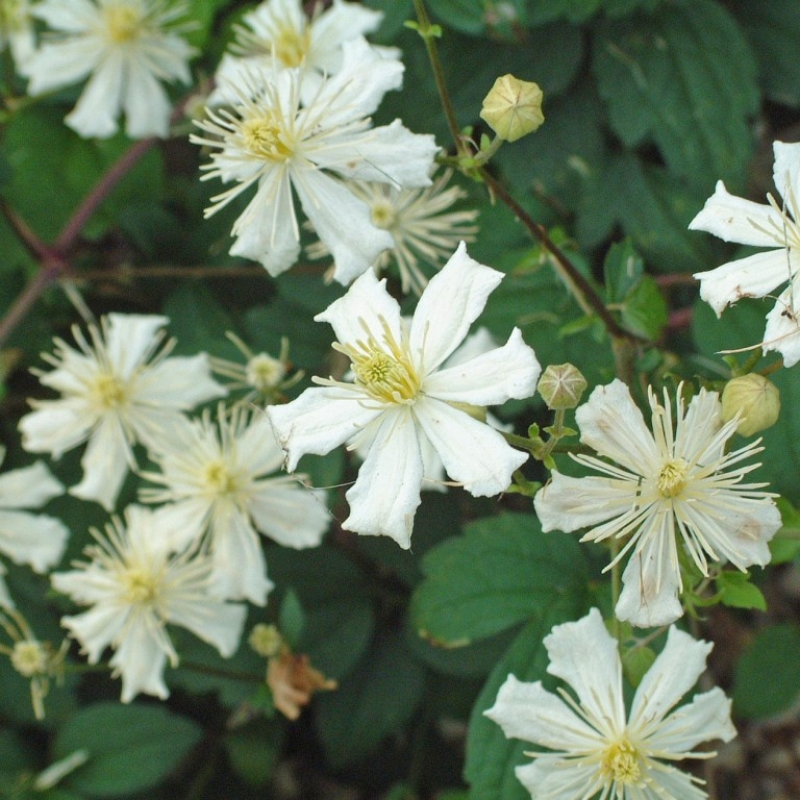 clematis paul farges summer snow types and varieties. Black Bedroom Furniture Sets. Home Design Ideas