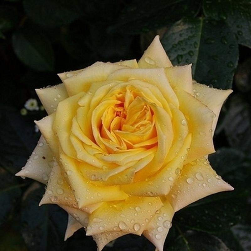 Розы Цитрина