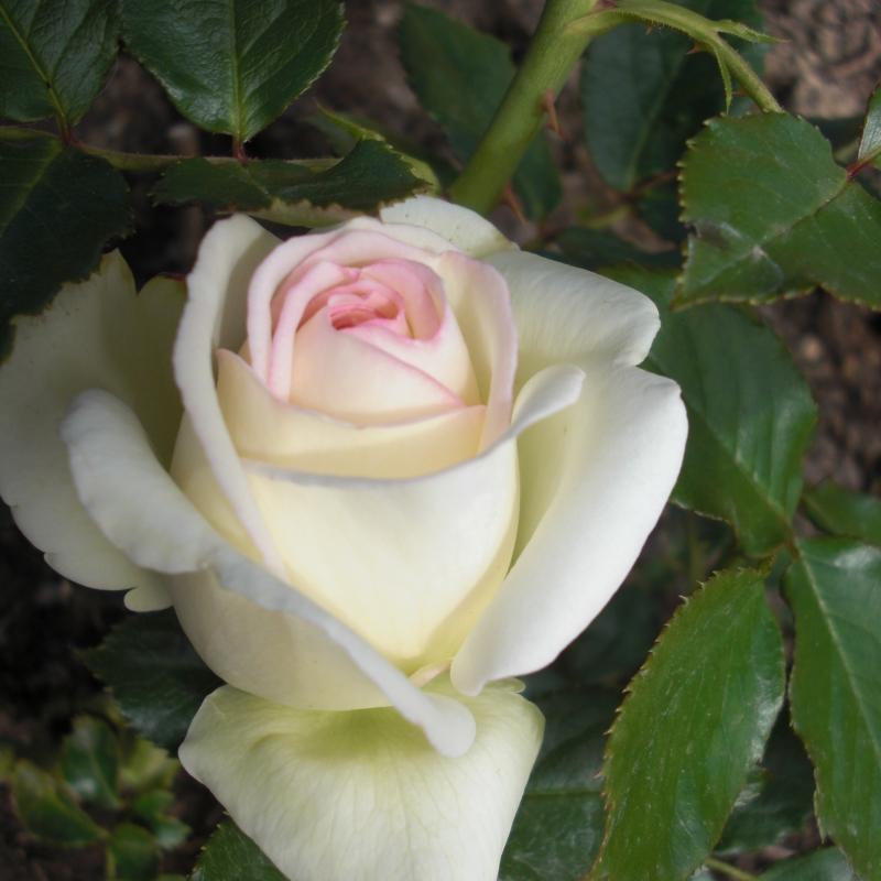 Розы Палаис Роял